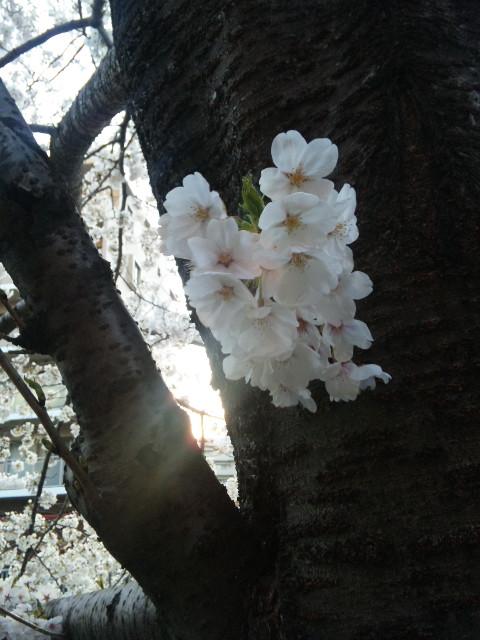 つかの間の花見
